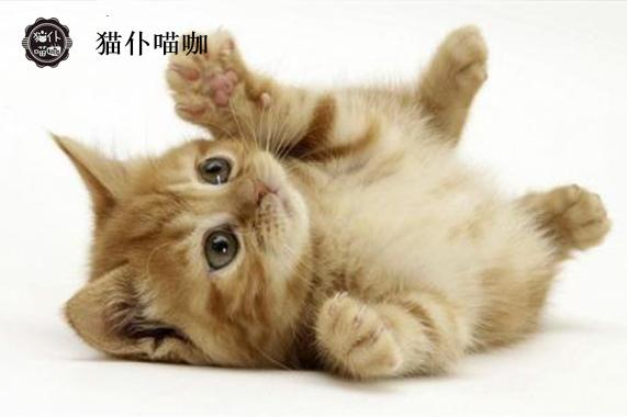 江苏苏州名贵猫批发价格<猫仆
